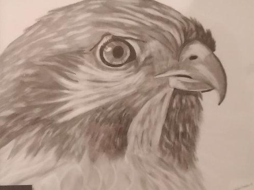 #72  Hawk  11x14 framed pencil drawing