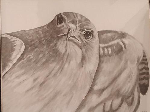 #98 Hawk  16x20 pencil drawing