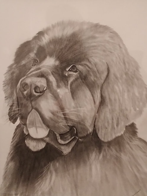 #25 Newfoundland  16x20 pencil drawing