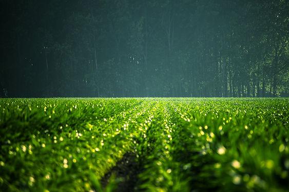 El campo verde