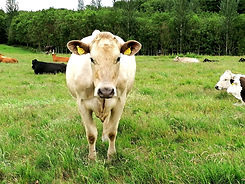 COOSANECREATIONS-COW2-web.jpg