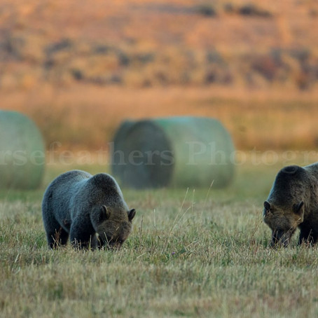Orphaned Grizzly Cubs of Tom Miner Update