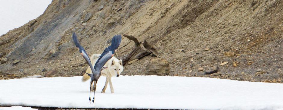 Blue Heron & Canyon Alpha
