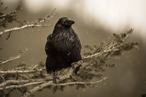 The Raven Canvas Wrap