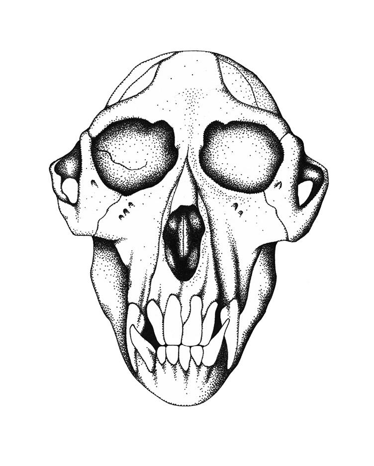 macaca Skull