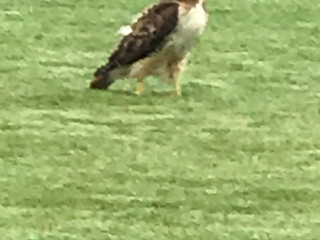 Our resident Red Tailed Hawk