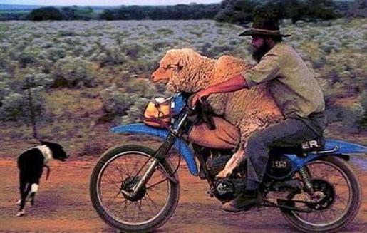 Moto Matrimony-Man rides sheep on motorcycle-Story Moto ADV Internet Oddest Motorcycles