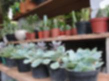 Rosas de Pedra | Plantas Suculntas em Bauru
