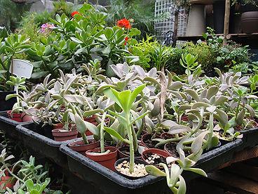 Diferentes espécies de Suculentas na Império das Planta em Bauu