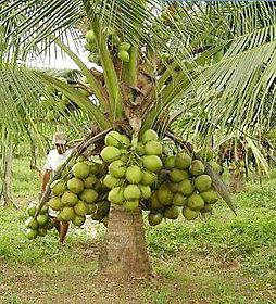 Coqueiro em Bauru