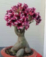 rosa do deserto em bauru esplendida na i