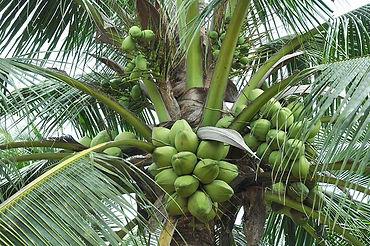 Coqueiro Para Jardim