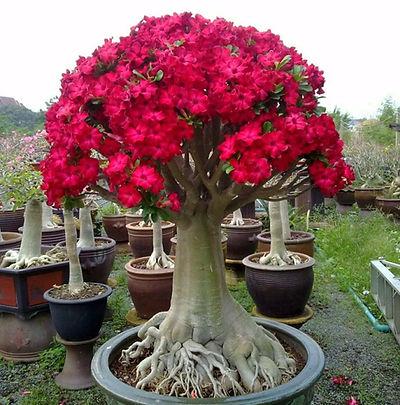 rosa do deserto sensacional.jpg