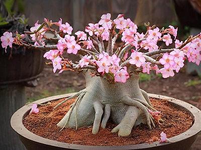 rosa do deserto linda.jpg