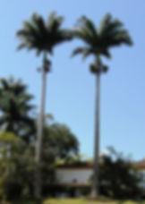 Coqueiro e Buru - Palmeira Imperial