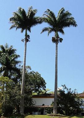 Coquiro Para Jardim - Palmeira Imperial