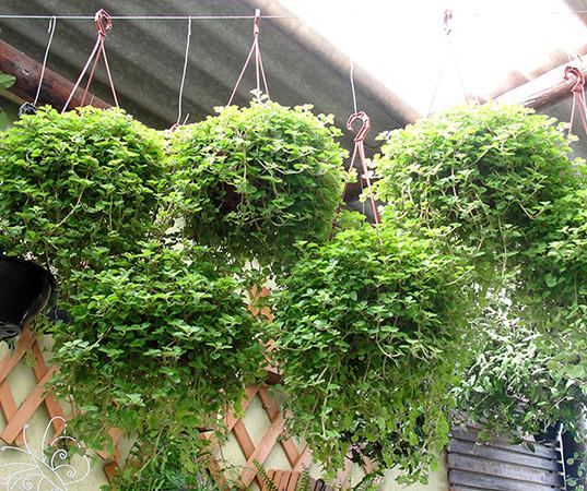 Plantas para pendurar em Bauru