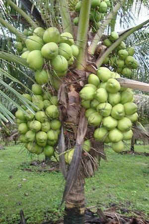 coqueiro-anao-imperio-das-plantas.jpg