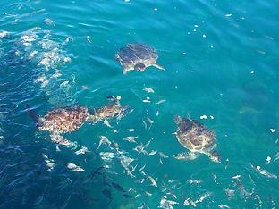 Tartarugas em Ilha Grande, Angra dos Reis - Rio de Janeiro