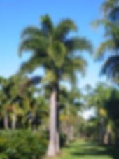 Muda de Coqueiro em Bauru - Palmeira Rabo de Raposa