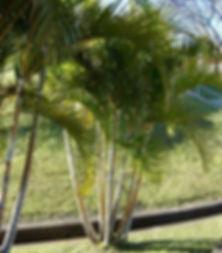 Muda de Coqueiro em Bauru - Palmeira Areca
