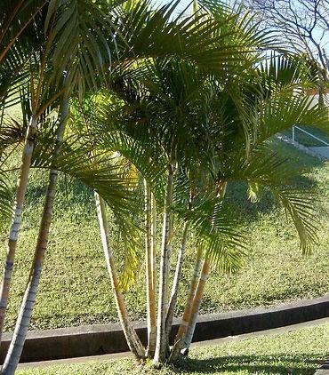 Coqueiro para Jardim - Palmeira Areca