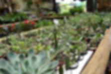 Suculentas naImpério das Planta em Bauru