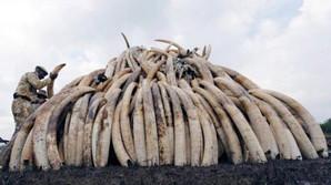 Braconnage ivoire.jpg