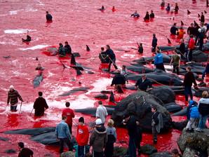 Le massacre des Dauphins aux Iles Feroe
