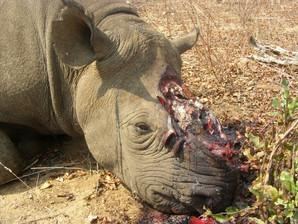 Rhino poaching naminia 2015 Wildlifeange
