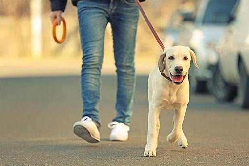lab-yellow-walking-on-leash.jpg