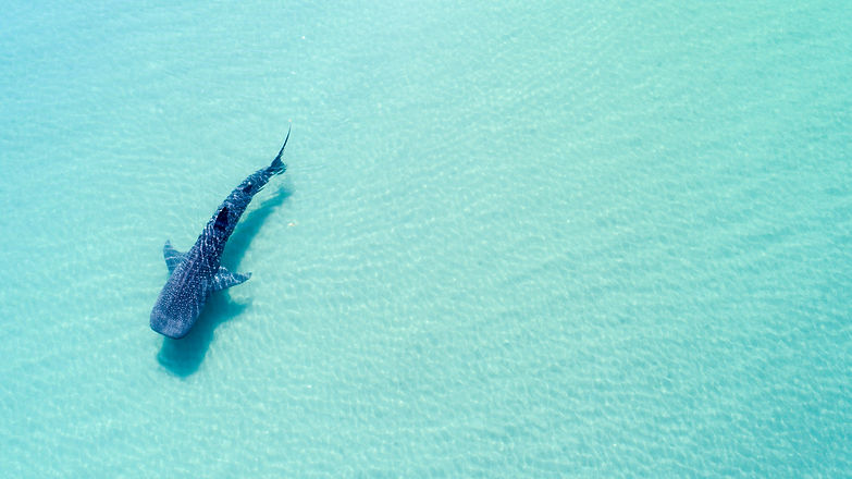 Whale Shark (rhincodon typus), the bigge