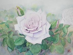 薄紫のバラ