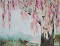 枝垂れ桜(光明寺)