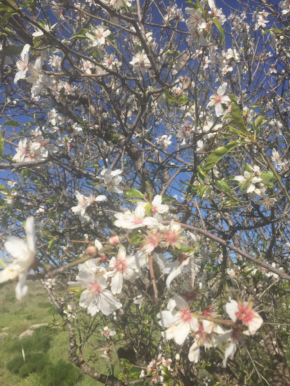 Almond blossoms in Israel
