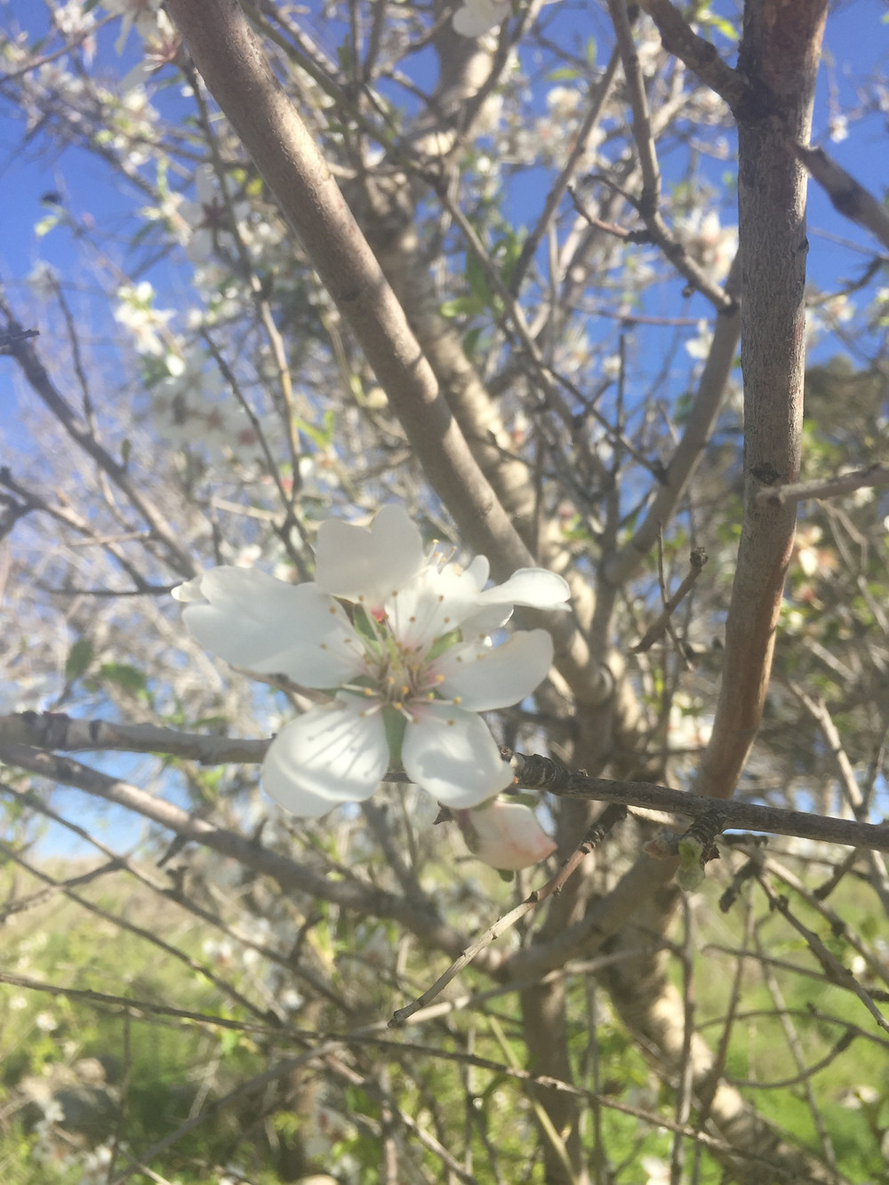 An almond blossom in Israel, mid-February