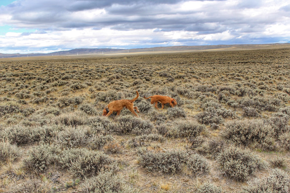 Rheese and her brother, Atlas, get to work finding Sage Grouse in WY