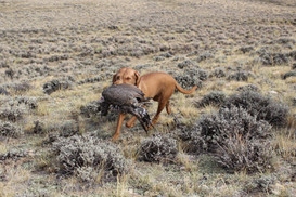 Rheese retrieving her first wild bird, the Greater Sage Grouse in WY