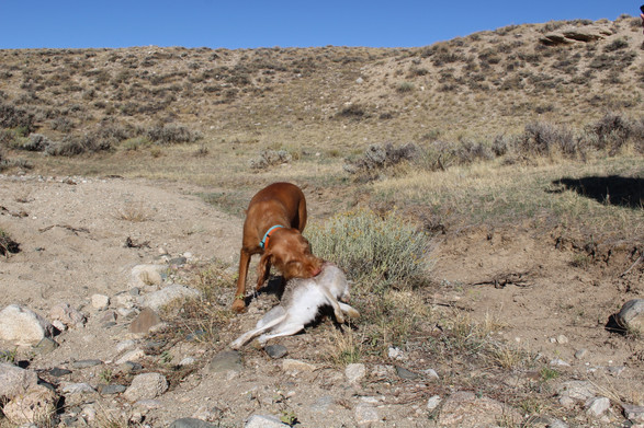 Retrieving a Jack Rabbit on our Wyoming hunt