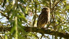 Athene noctua – the little owl