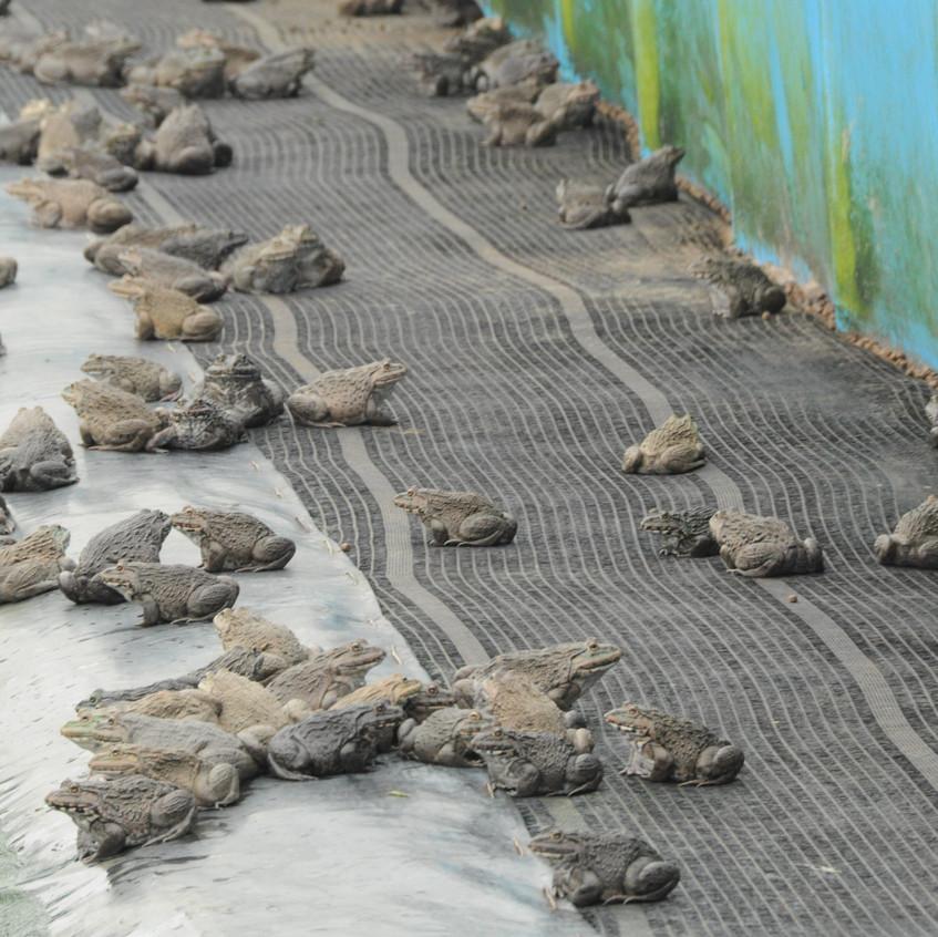 DS4_Frogs_Taiwan_Farm_Feb2012