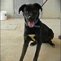 TIMOTEO, incrocio cane corso 2 anni