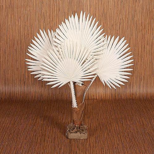 White Buri Palm- 3 ft.