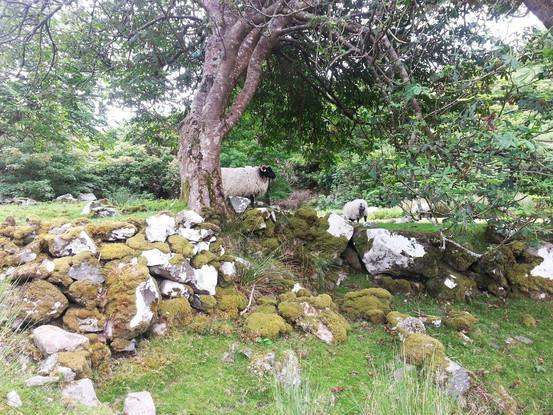 photo_ireland sheep.jpg