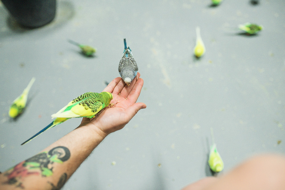 friendly parakeets
