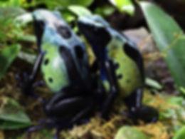green sip pair Ferns Frogs Jan 2016.jpg
