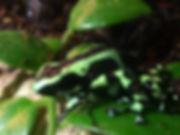 "Dendrobates auratus ""Costa Rican Green Black"""