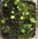 tropical moss