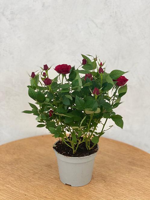 Rose in dunkelrot