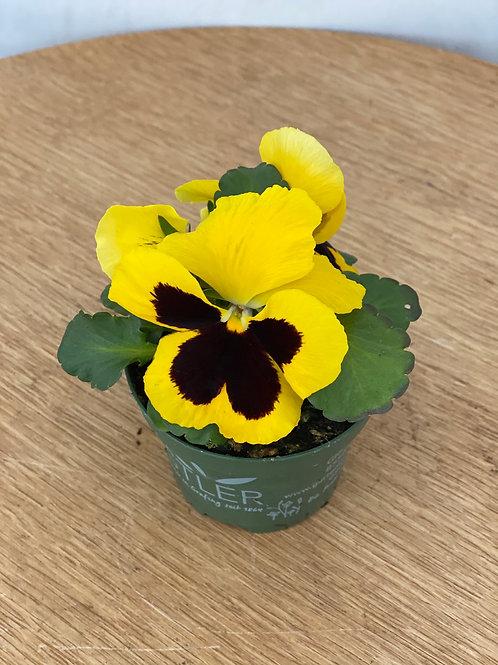 Viola in gelb